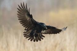 Birds - Common Raven (Corvus corax)