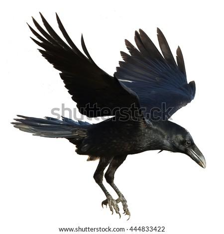 Birds - Common Raven (Corvus corax) isolated on white background. Halloween