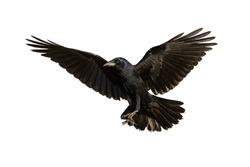 Birds - Common Raven (Corvus frugilegus) isolated on white background