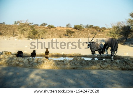 Birds Drinking From A Watering Hole With Gemsbok