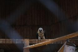 birds eagles in captivity, captives of the zoo