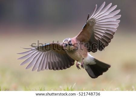 Birds - Eurasian jay in flight (Garrulus glandarius)