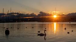 Birds flying and swimming in water at sunset. Seagull and swan swimming in summer in Lake Geneva, Switzerland. Black headed gulls and Cygnus olor. Chroicocephalus ridibundus.