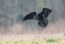 Birds - flying Black Common raven (Corvus corax)