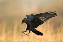 Birds - Flying Common Raven (Corvus corax)