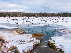 Birds Flying from Frozen Lake on Cape Cod