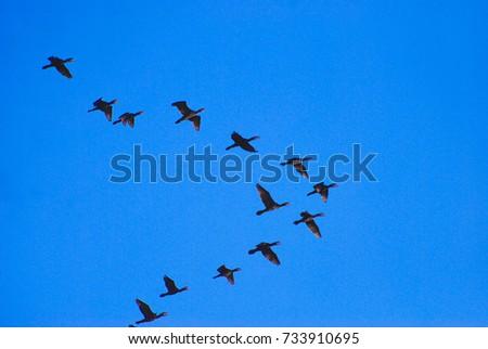 Birds flying in the blue sky. Storks, water birds.Birds flying in group.