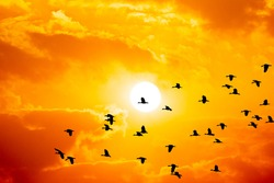 Birds flying on sihouette  to nest sky on sunset background, beautiful birds flock on golden sunshine cloud on summer holiday, wildlife photo for creative design for graphic, miration animals wild