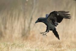 Birds - Flying Raven (Corvus corax)