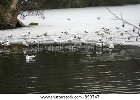 birds ice skating - stock photo