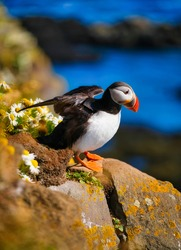 Birds image. Puffin in Iceland. Seabird on sheer cliffs. Bird on the Westfjord in Iceland. Composition with wild animals.