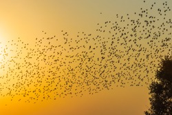 Birds in flight at sunset.  A large number of starlings in the second half of summer gather in flocks and are preparing to fly to warmer lands.