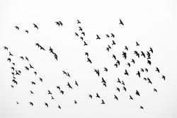 Birds in flight, freedom. Silhouette. Flock of birds.