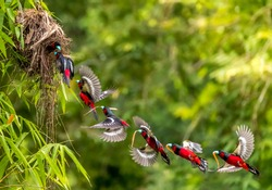 Birds in Love, Black-and-red broadbill (Cymbirhynchus macrorhynchos) lovely black and red birds bring food and fly to nest. bird build nest for child. freeze action or manipulation bird when flying