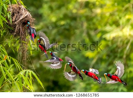 Birds in Love, Black-and-red broadbill (Cymbirhynchus macrorhynchos) lovely black and red birds bring food and fly to nest. bird build nest for child. freeze action or manipulation bird when flying #1268651785