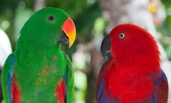 Birds in love: Pair of lori parrots on the tree