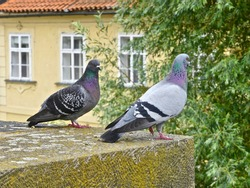 Birds in Old Town Prague, Charles Bridge