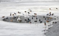 Birds in winter. Swans, gulls, ducks swim in a partly frozen lake