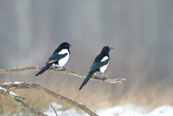 Birds - Magpie (Pica pica)