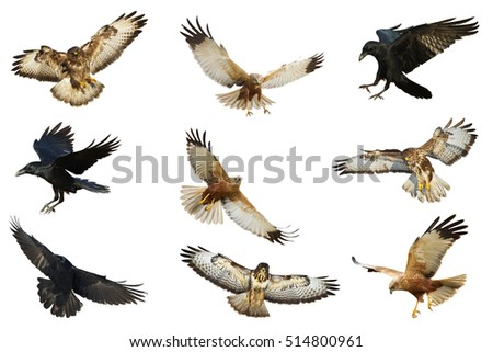 Shutterstock Birds - Mix flying Common Raven (Corvus corax), Common Buzzard (Buteo buteo) and Marsh Harrier (Circus aeruginosus) isolated on white background