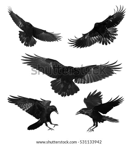 Birds - mix flying Common Ravens (Corvus corax) isolated on white background. Halloween - mix five birds