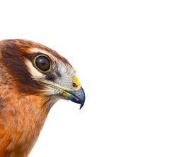 Birds of Europe and World - Montagu's harrier (Circus pygargus).