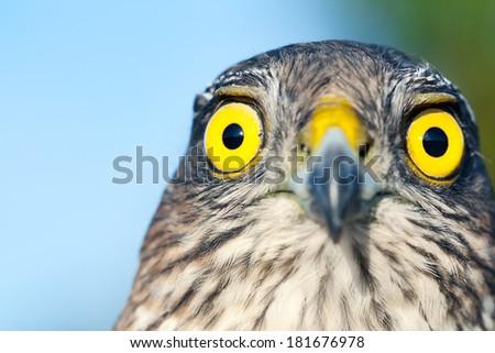 Birds of Europe - Sparrow-hawk (Accipiter nisus).