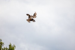 Birds of prey fly over the pasture and fight each other violently