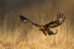 Birds of prey - flying Common Buzzard (Buteo buteo), autumn. Hunting time, searching something to eat.