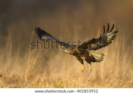 Shutterstock Birds of prey - flying Common Buzzard (Buteo buteo), autumn. Hunting time, searching something to eat.