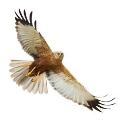 Birds of prey - flying Marsh Harrier (Circus aeruginosus) isolated on white background