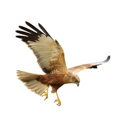 Birds of prey - flying Marsh Harrier (Circus aeruginosus) isolated on white background