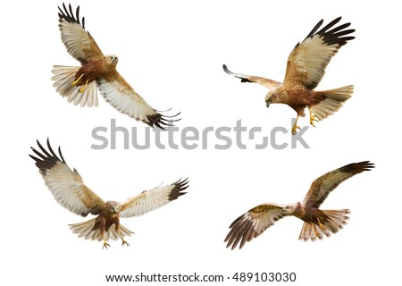 Shutterstock Birds of prey - flying Marsh Harrier (Circus aeruginosus) isolated on white background - mix four birds
