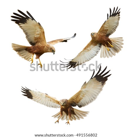 Shutterstock Birds of prey - flying Marsh Harrier (Circus aeruginosus) isolated on white background - mix three birds