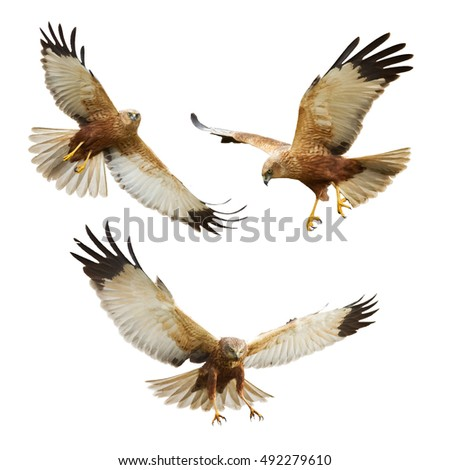 Shutterstock Birds of prey - flying Marsh Harrier (Circus aeruginosus) isolated on white background - mix three birds
