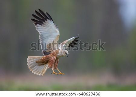 Birds of prey - Marsh Harrier (Circus aeruginosus), landing,