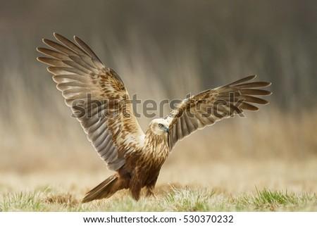Birds of prey - Marsh Harrier (Circus aeruginosus), landing, hunting time
