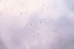 Birds of prey migration, circling in lower atmosphere to gain altitude  between Caucasus and Black sea, A lot of birds are climbing in circles to fly to Asia Minor, Black kites, Honey Buzzard, etc.