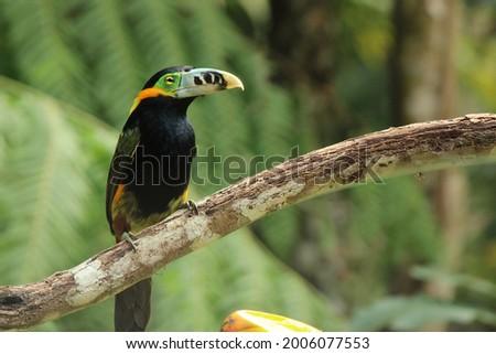 Birds of the Atlantic Forest Brazil - Spot-billed Toucanet, male Zdjęcia stock ©