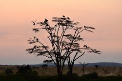 birds on a tree at sunset, serengeti national park, tanzania