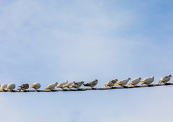 Birds On A Wire. Copy Space. Many pigeons on a electric wire resting. Sky in the background. Stock Image.