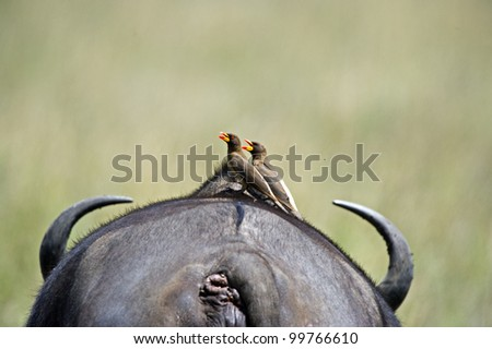Birds on back of Buffalo - stock photo