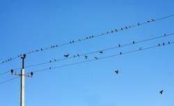 Birds on high voltage wires