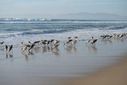 Birds on the beach. Beach birds of California.
