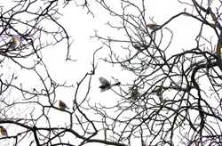 birds on the branches. bare tree branches and birgs on white. black and white natural pattern. branches in winter.