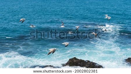 Birds on the N. California coastline Foto stock ©