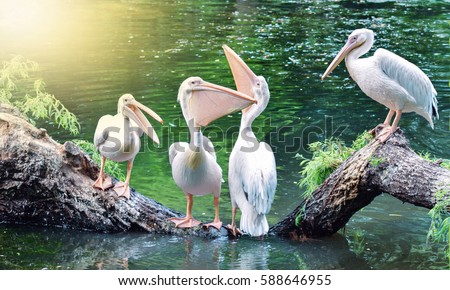 Birds Pelicans are talking. Positive birds. Animals. Birds in the nature. Birds on the tree.