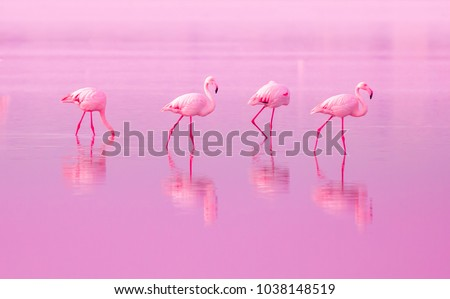 Stock Photo Birds Pink Flamingos Walk on the Lake at the Pink Sunset in Cyprus, Beautiful Romantic Concept with a Place for Text, Journey to the South, Love and the Pink Dream, Pink Lake