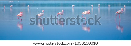 Stock Photo Birds Pink Flamingos Walk on the salt blue Lake in Cyprus, Beautiful Romantic Concept with a Place for Text, Journey to the South, Love and the Pink Dream