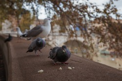 Birds sitting on the embankment of the Tiber river in Rome, Italy. Pigeon eats a treat